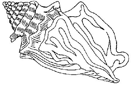 conch shell coloring pages - photo#20